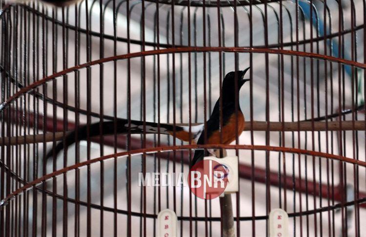 Tampil Pasca Mabung, Murai Batu Black Hunter Melejit di Piala Panglima TNI dan Siap ke Presiden Cup V