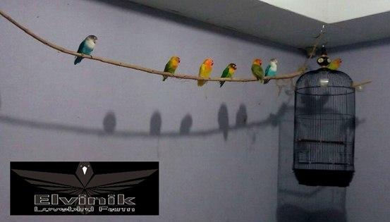 Ring Elvinik Pencetak Love Bird Trah Jawara