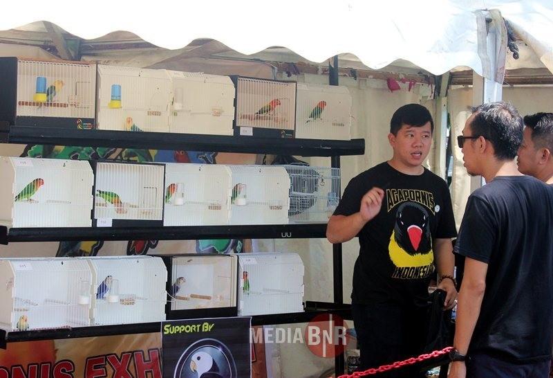 Selain Berlomba, Korwil AI-Makassar Juga Mengedukasi Tentang Kelebihan Berternak Lovebird Warna