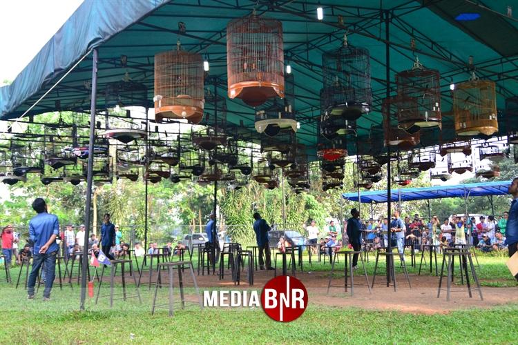 Toren BC Makin Solid, Dua Putri Tampil Sukses Dikelas Cucak Hijau
