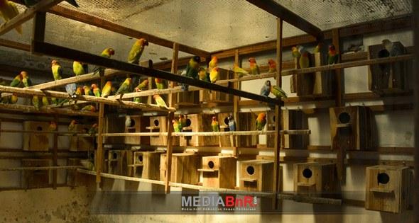 Anakan Hasil Indukan Lovebird Trah Jawara Lahir di JML BF Rembang