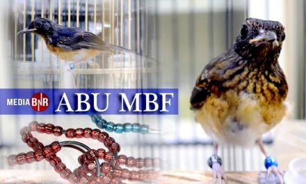 ABU MBF Tetap Utamakan Kualitas Indukan