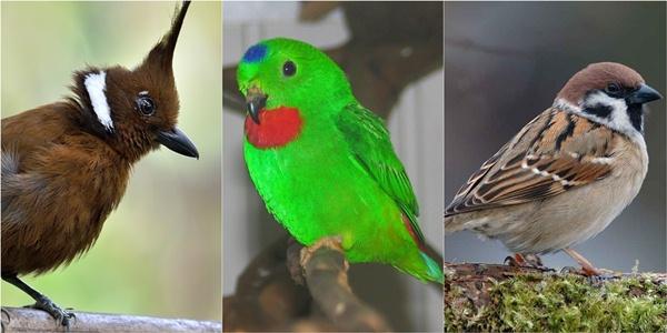 Burung Masteran Kembali Diangkat BnR