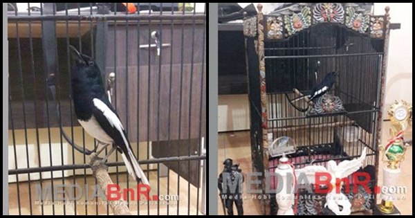 HH Bird Shop Berbagi Tips Perawatan Kacer Dewa Ruci