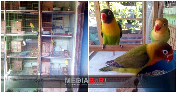 Anakan Love Bird Kerap Moncer di Bursa
