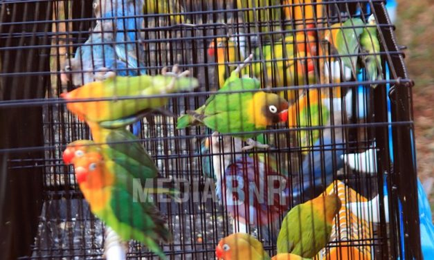 Harga Love Bird Mulai Meroket Turun