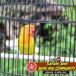 Lovebird Banyumoto Tetap Stabil Di Jalur Juara