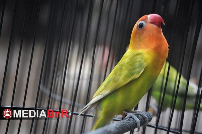BnR Buka Love Bird Bebas