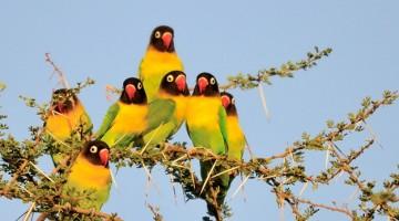 lovebird di alam terbuka
