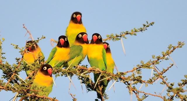 Kacaunya Dunia Burung Karena Ambisi
