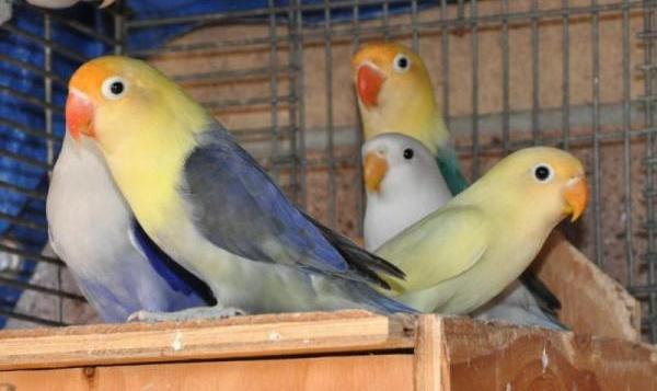 Tips Menangani Love Bird Birahi
