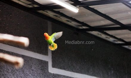 BnR Akan Buka Love Bird Balap