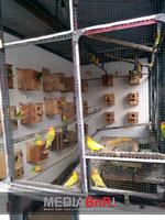 metode koloni adalah metode yang digunakan Hadi Agam Bird's Farm