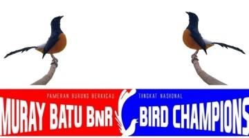 murai batu borneo lomba bird champion of murai