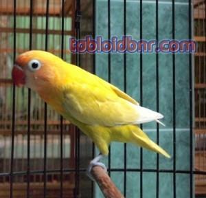 andi berkarya lewat ternak love bird