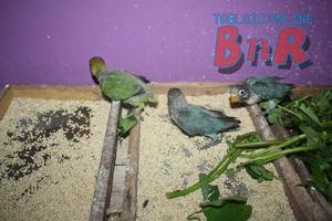 Pakan Ini Tingkatkan Produktifitas Love Bird Mediabnr